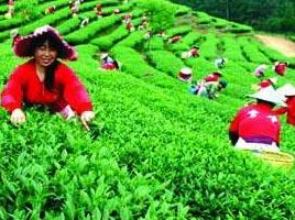 Собирание сортов чая