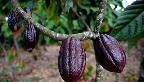 бобы какао на ветке