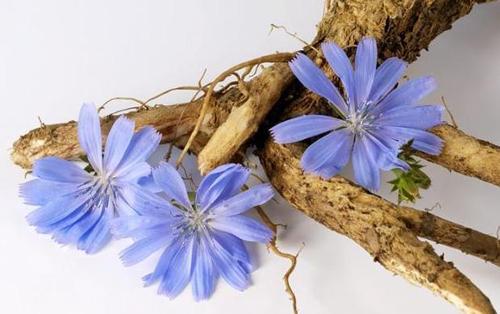 голубые соцветия и корень цикория