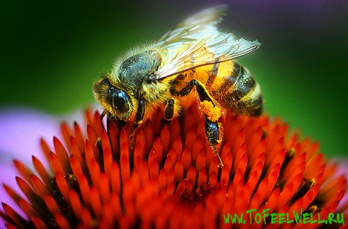 пчела сидит на красном цветке