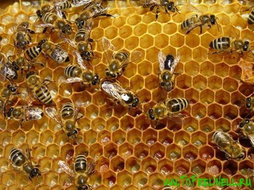 пчелы ползают по сотам