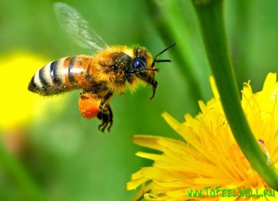 пчела летит на зеленом фоне