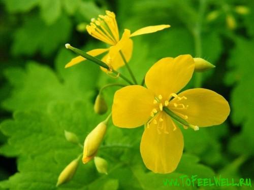 цветы чистотела на зеленом фоне