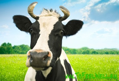 Чем полезно коровье молоко